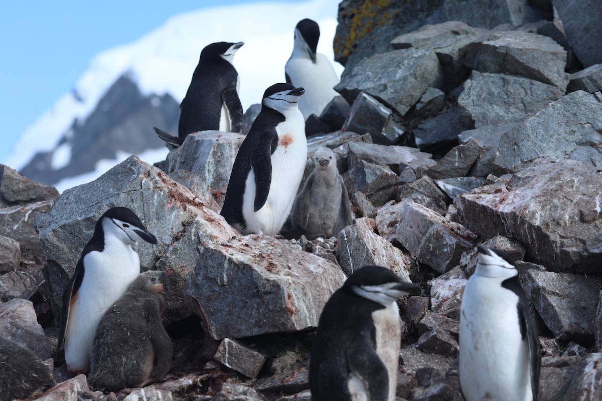 <p>Some penguin species are adapting to warmer temperatures, while other populations are declining. Photo by Kelly Levin/WRI</p>