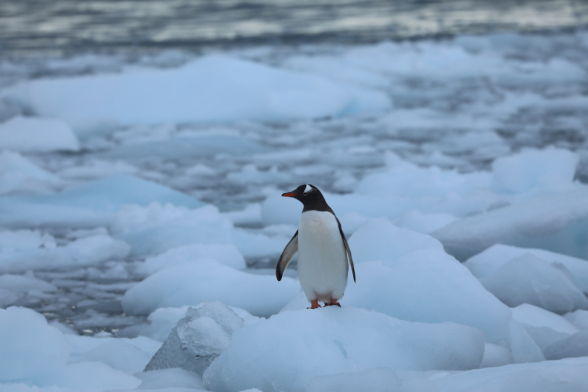<p>As krill populations decline, some penguins are relying on new food sources, including fish and squid. Photo by Kelly Levin/WRI</p>
