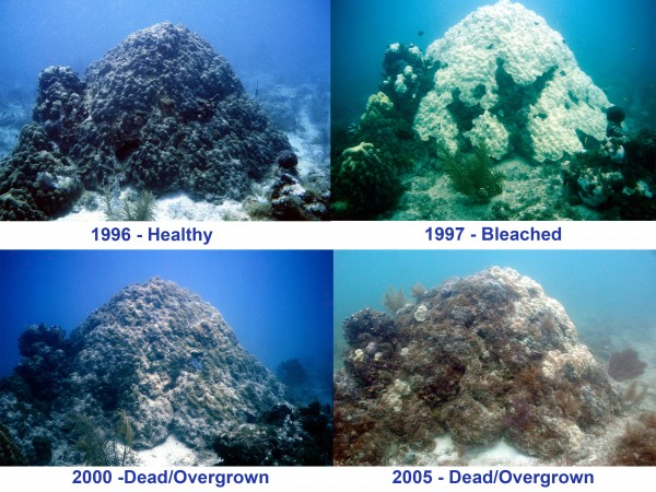 <p>This 500 year old coral head bleached in 1997 and has yet to recover to a healthy state as of 2005. Key West, FL. Photo credit: Craig Quirolo, Reef Relief/Marine Photobank</p>