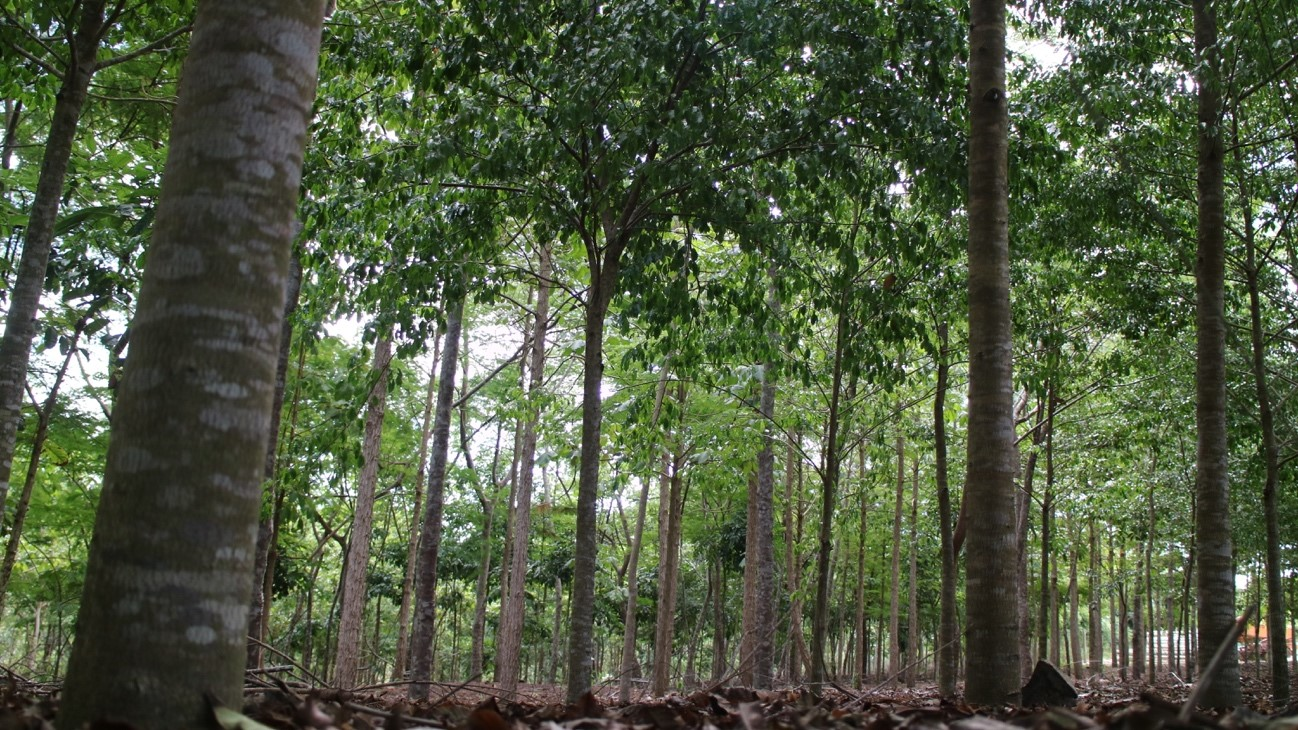 <p>An area of the Atlantic Forest restored with native trees to improve biodiversity and produce sustainable timber. Photo by Symbiosis.</p>