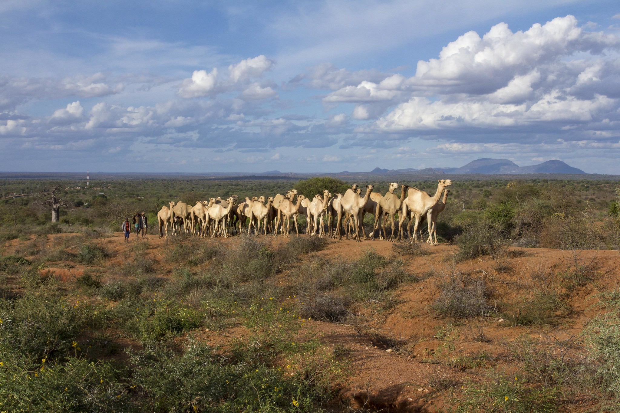<p>Kenyan herders\' switch to camels is an example of transformative adaptation to climate change. Photo by Flore de Preneuf/World Bank.</p>