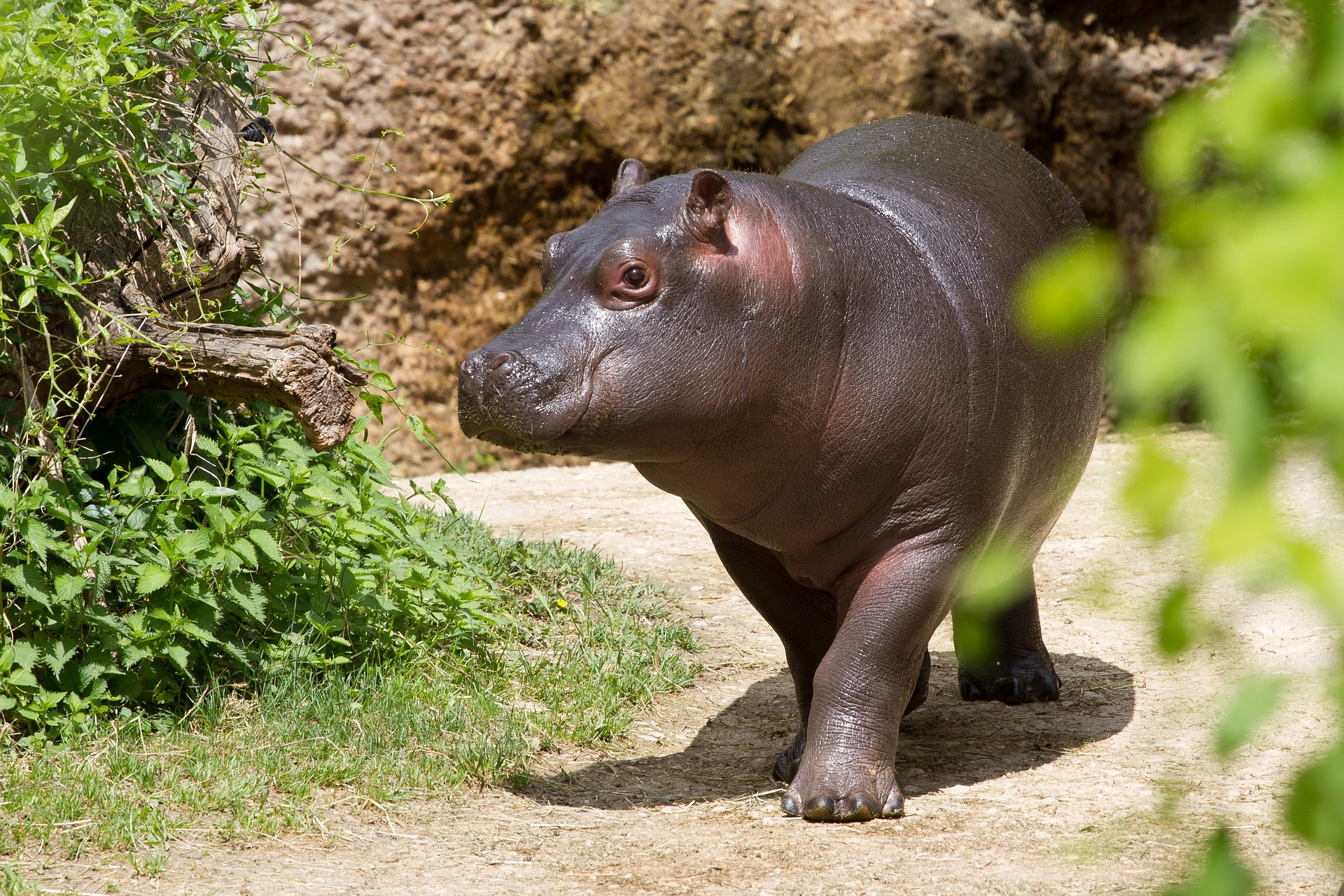 <p>Liberia\'s Upper Guinea Forest is home to the endangered pygmy hippopotamus. Photo by adege/Pixabay</p>
