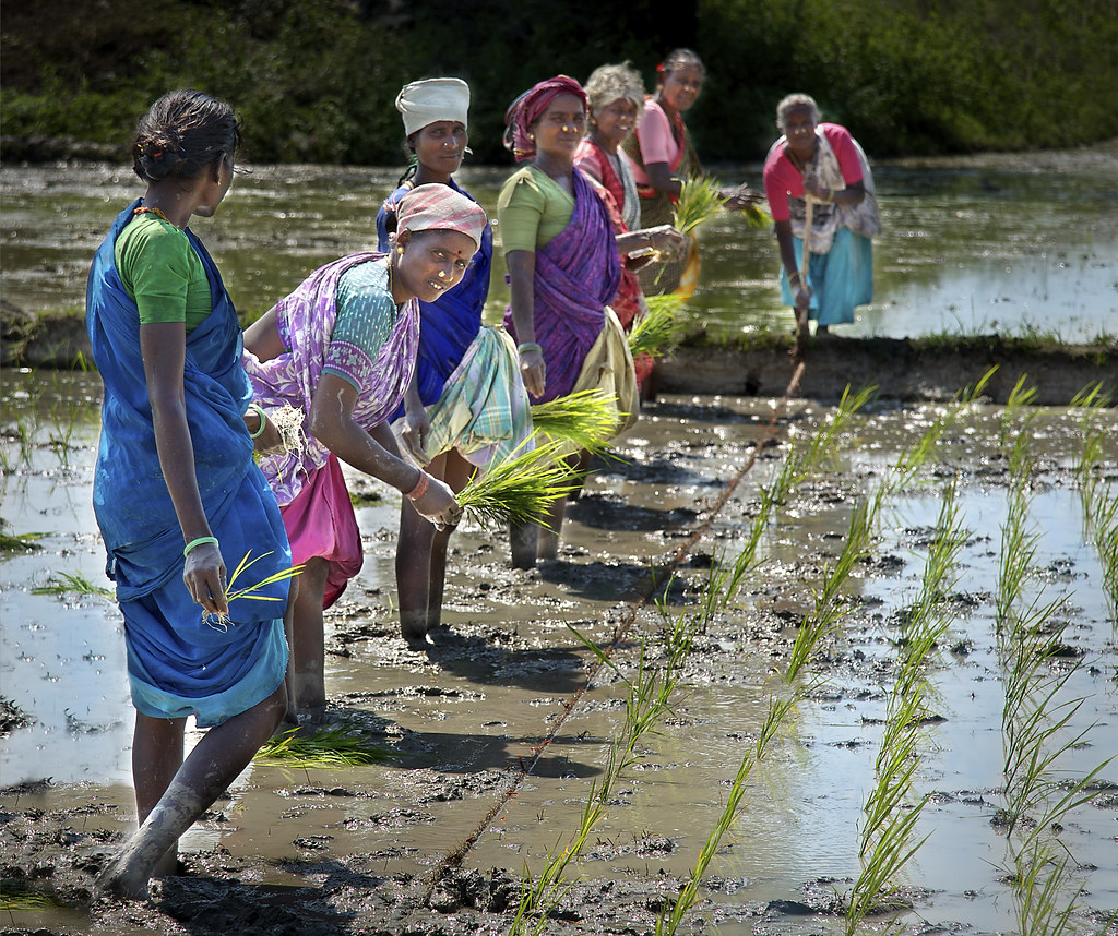 <p>Women farmers planting rice in Tamil Nadu, India. Photo by Michael Foley/Flickr.</p>