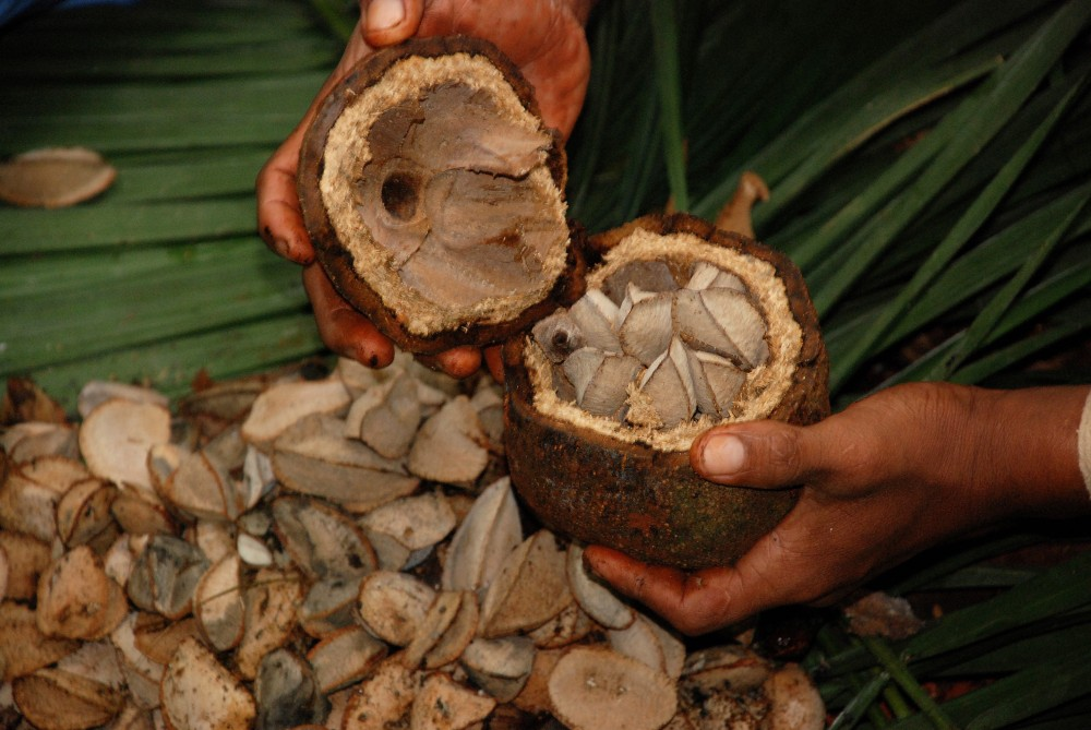 <p>Brazil nut trees produce at their highest levels when they live in healthy, primary forests. Photo credit: Ouro Verde</p>