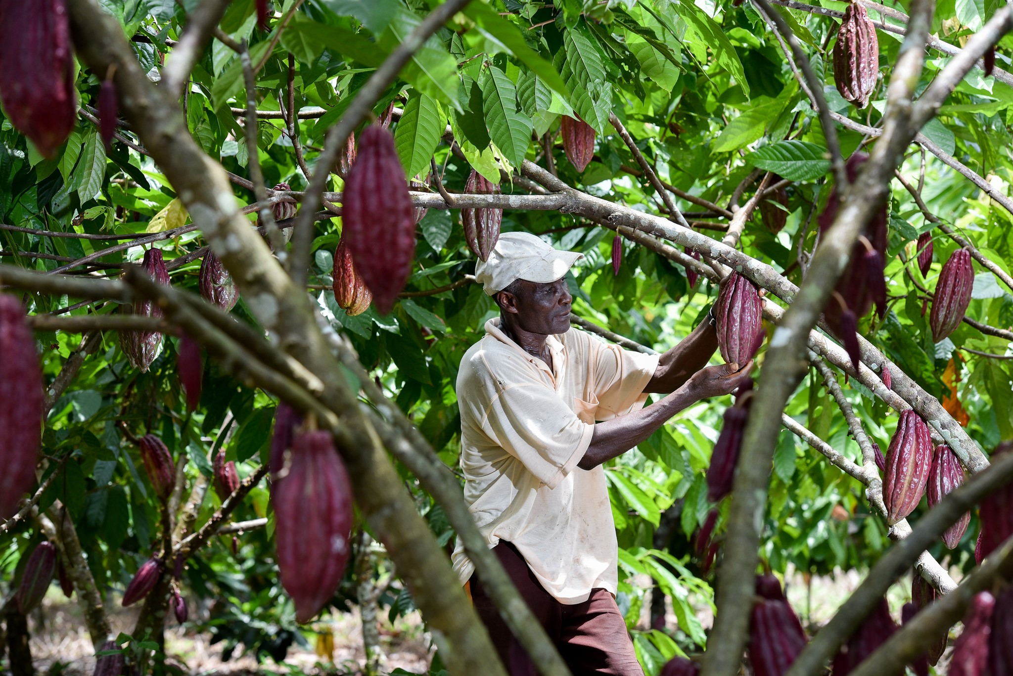 <p>Cocoa farming in Guaviare, Colombia. Photo by Neil Palmer/CIAT</p>