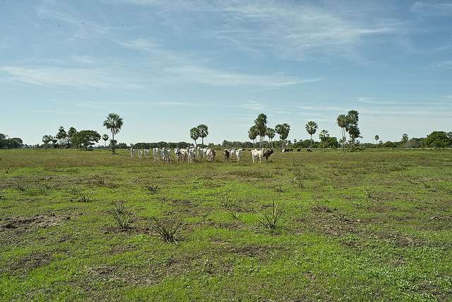 <p>Farming and ranching are drivers of deforestation. Photo by Povi Abrahamsen/Flickr</p>