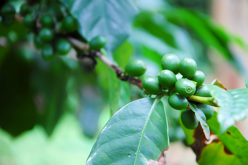 <p>Coffee plant in Mbale, Uganda. Photo by Lauren Parnell Marino/Flickr</p>