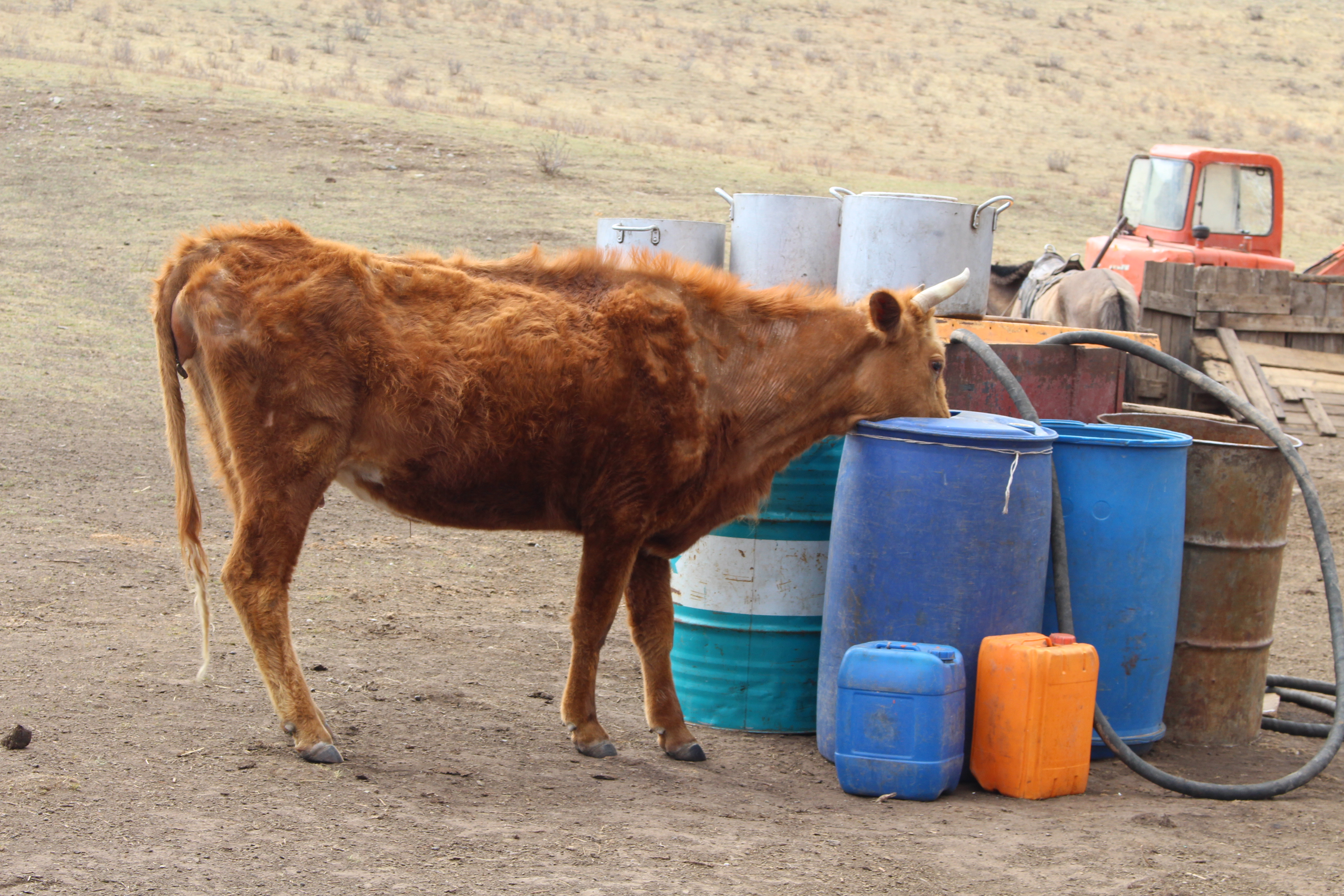 <p>Cattle also rely on local water. Photo by Zolbayar Bayasgalan</p>