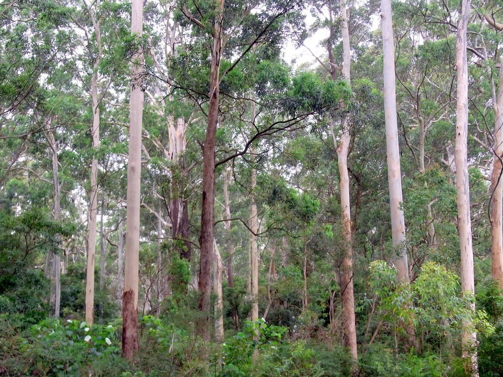 <p>Eucalyptus forest. Photo by Peter Woodard/Wikimedia Commons</p>