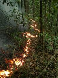 <p>Un incendio en el sotobosque de la Amazonía brasilera. El calor prolongado de dichos incendios lentos, puede matar a los árboles pequeños, y aumentar las tasas de mortalidad en los años siguientes. Fotografía cortesía de: Jos Barlow</p>