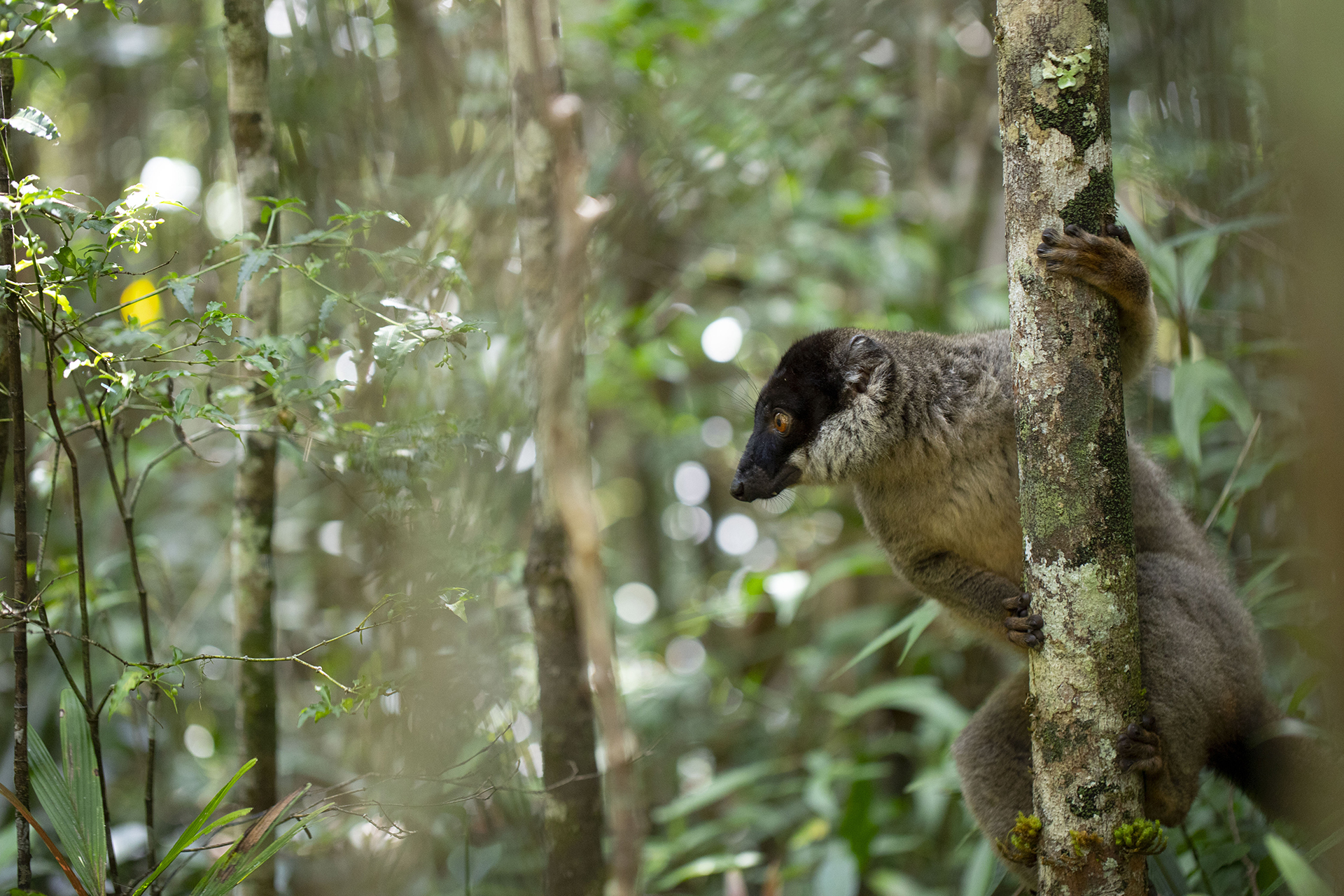 <p>As beloved species like lemurs are threatened by forest loss, we need technology to better measure biodiversity. Photo by Andry Rasamuel/WRI Africa.</p>