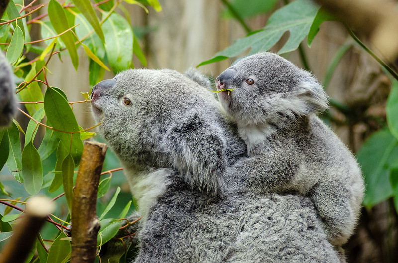 <p>Koalas are one of many species unique to Australia\'s forest ecosystems. Photo by Matthias Appel/Flickr</p>