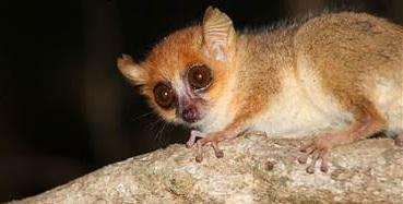 <p>Madame Berthe\'s mouse lemur. Photo by Melanle Dammhahn</p>