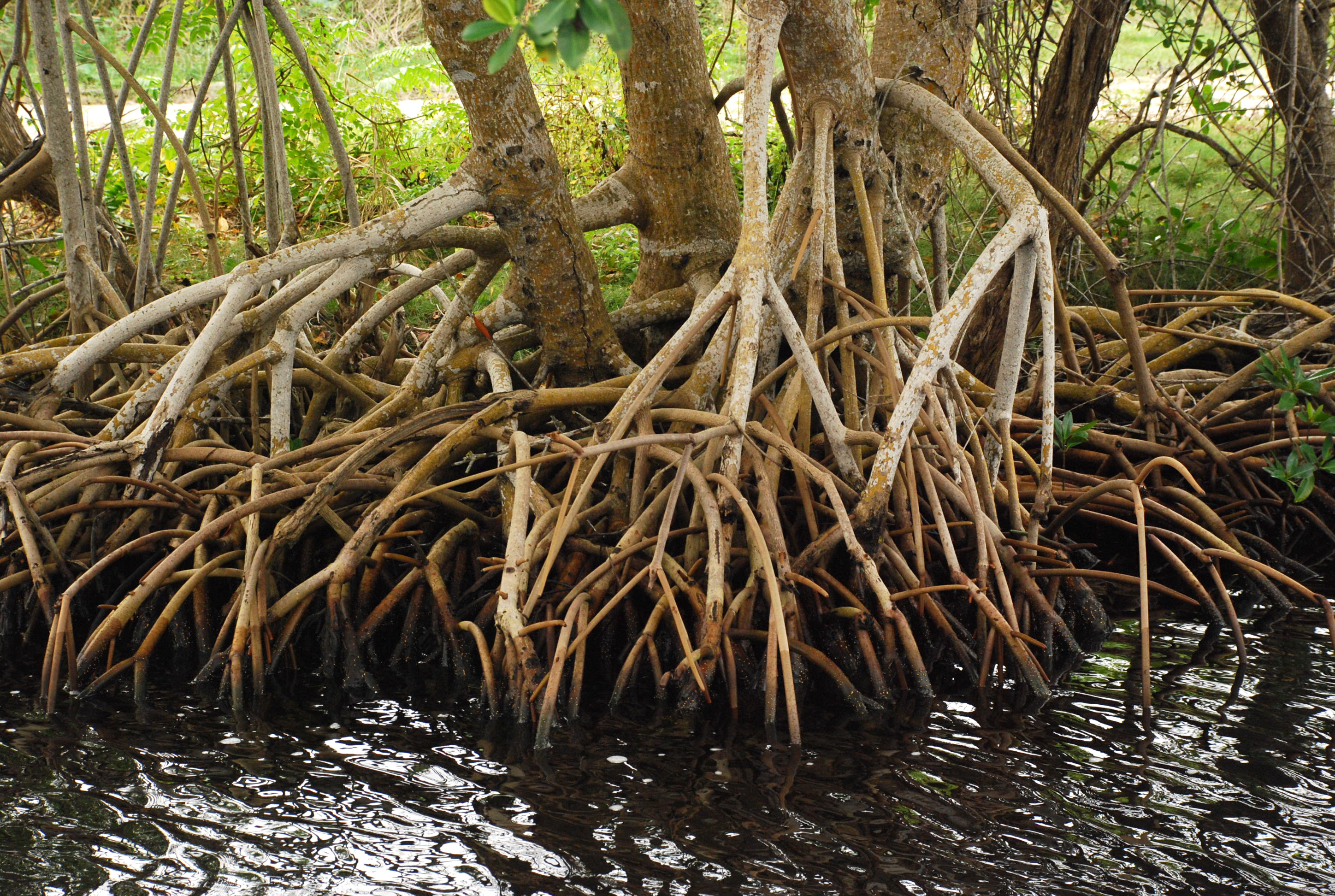 <p>Mangrove forests can complement sea walls by reducing storm surge. Photo by Adam Fagen/Flickr</p>
