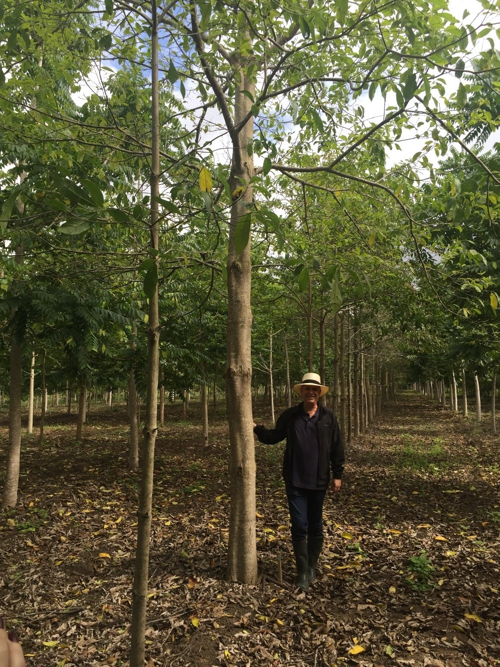 <p>A three-and-a-half-year-old Louro Pardo (Cordia trichotoma) tree, Symbiosis farm, state of Bahia, Brazil. Photo credit: Miguel Calmon.</p>