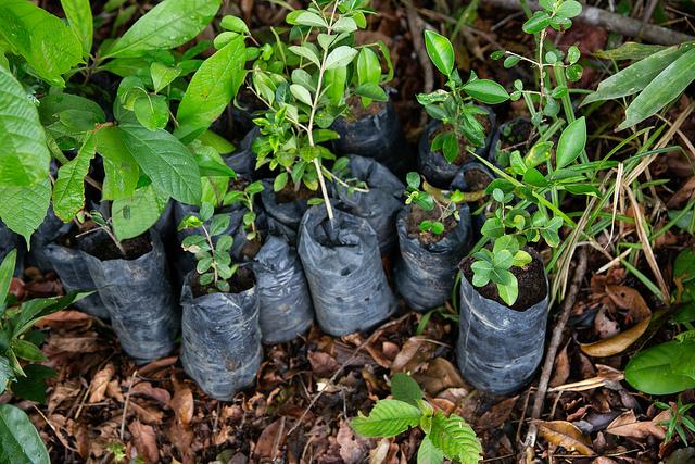 <p>Native trees ready for planting. Joana Oliveira/WRI Brasil</p>