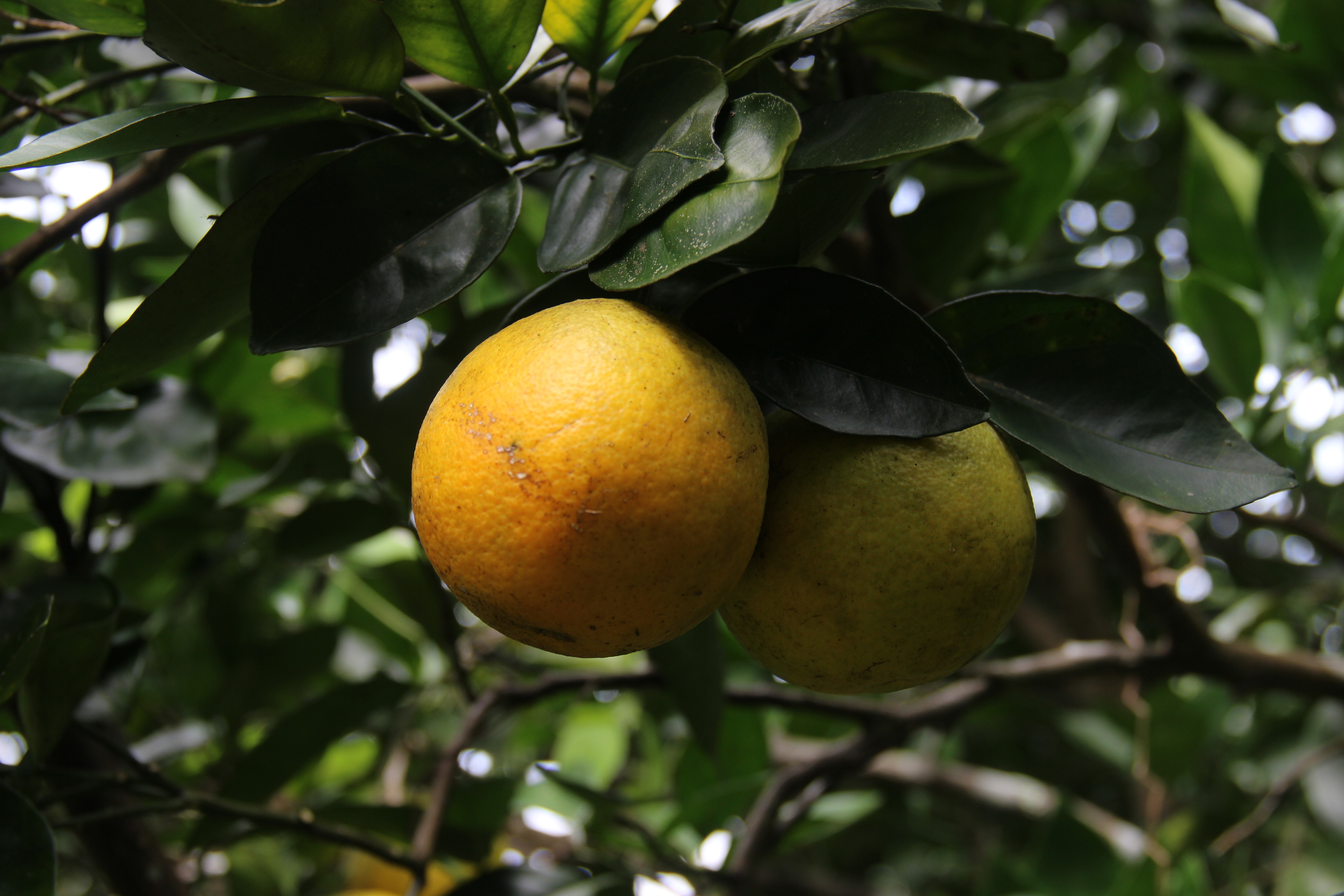 <p>An orange in Costa Rica. Photo: Stefanie Tye/WRI</p>