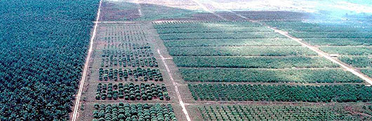 <p>An oil palm plantation in Indonesia</p>