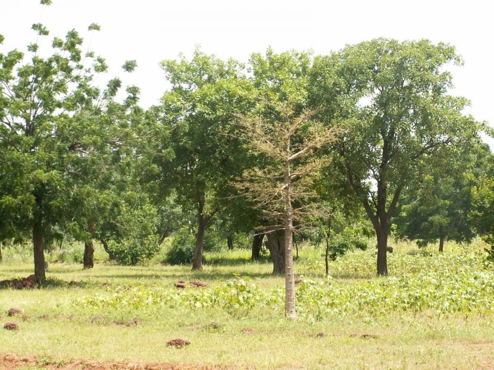 <p>Re-greened land in Burkina Faso\'s Ranawa village. In 1985, this land was completely degraded. Photo credit: Chris Reij, WRI</p>