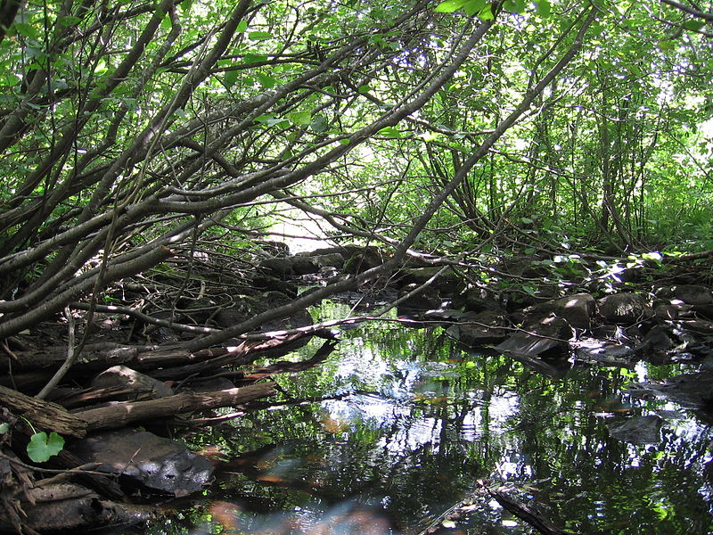 <p>Restoring riparian forest can help filter water and keep stream temperatures cool. Photo credit: Wikimedia Commons/Minnecologies</p>