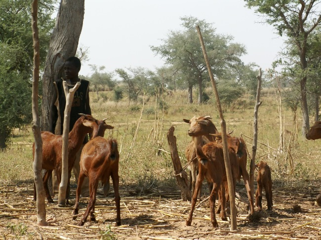 <p>A young and dense agroforestry parkland in Niger's Kantché district dominated by Faidherbia albida, a fertilizer tree.  Although it's after the harvest, the goats are tethered, which reduces damage to the young trees. Photo credit: Chris Reij, WRI</p>