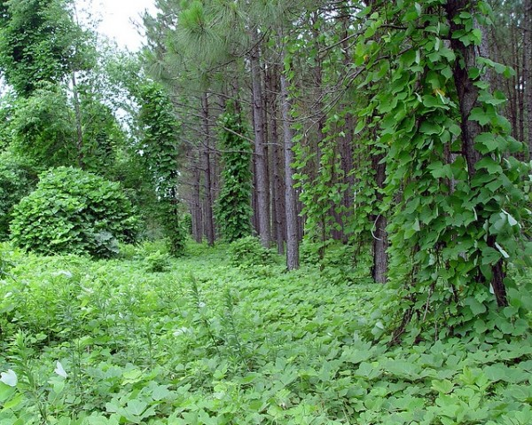 <p>Kudzu, known as the vine that ate the South, is an invasive species that smothers vegetation. It is very difficult and expensive to remove once established.</p>