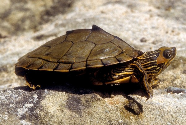 <p>The Alabama map turtle is found in large portions of Alabama and Mississippi, as well as small areas of Louisiana, Georgia, and Florida. Photo credit: flickr/stewartwildlife</p>