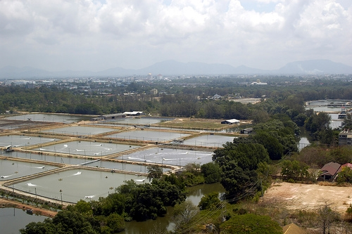 <p>Shrimp Farms in Thailand. <em>Photo credit: flickr/Ben Harris-Roxa</em></p>