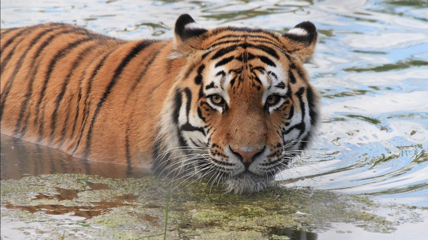 <p>Siberian tigers are threatened by habitat loss in the Russian Far East. Photo: Graham Thorpe, Flickr</p>